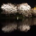 写真: 観桜の夕べ
