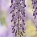 写真: 藤の花