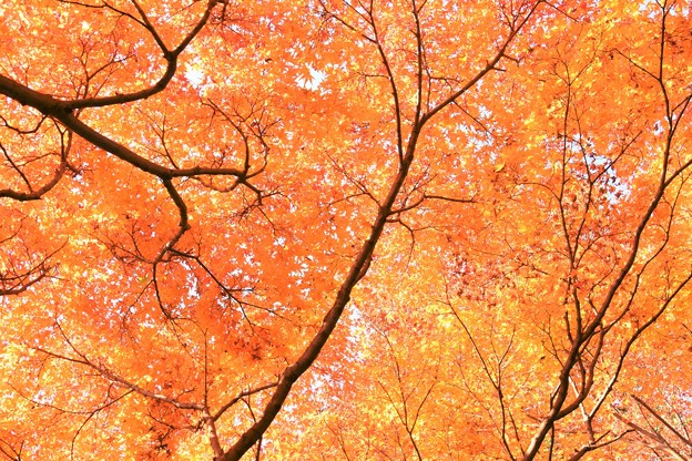 写真: 覚園寺紅葉