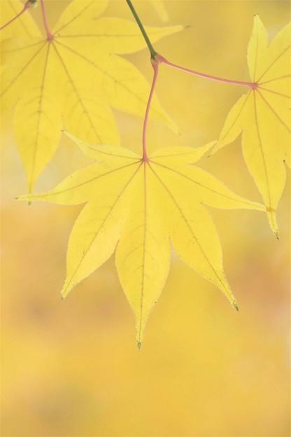 写真: 黄色の紅葉