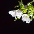 御船山楽園 桜ライトアップ 3