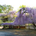 藤山神社  藤の花