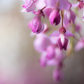 藤山神社  藤の花 5