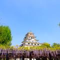 唐津城 藤の花