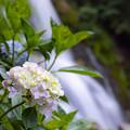 見返りの滝 アジサイ 3