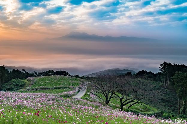 写真: 白木峰高原 コスモス 2