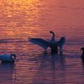 朝焼けの白鳥