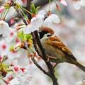 写真: 桜とすずめ