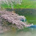 写真: 千鳥ヶ淵の桜