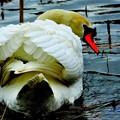 公園の白鳥