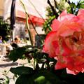 写真: 近所のバラ