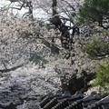 1359 宮谷の桜