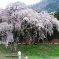 1375 朝日町農家の桜