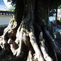 写真: 2346 西蓮寺のムクノキ