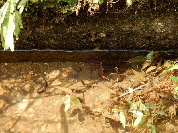 写真: 4用水路に沢蟹