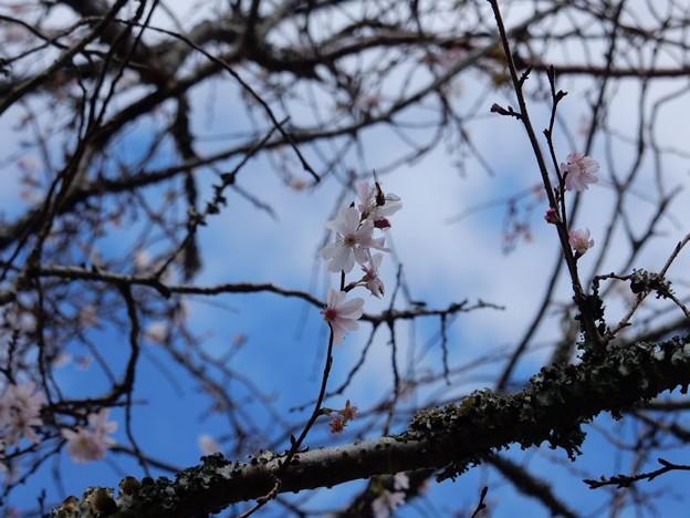 写真: 3 四季桜もね
