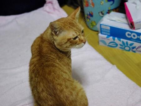 2009年11月25日の茶トラのボクちん(5歳)