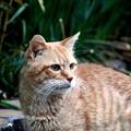 写真: 2011年11月25日の茶トラのボクちん(7歳)