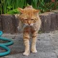 写真: 2011年12月04日の茶トラのボクちん(7歳)