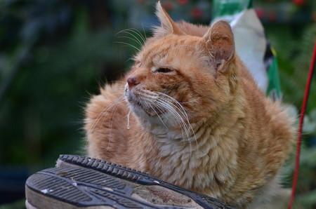 2011年12月18日の茶トラのボクちん(7歳)