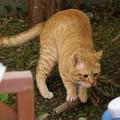 写真: 2009年01月03日の茶トラのボクちん(4歳)