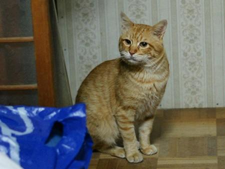 2011年01月18日の茶トラのボクチン(6歳)