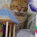 写真: 2012年01月30日の茶トラのボクチン(7歳)