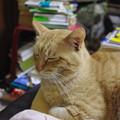 写真: 2009年02月04日の茶トラのボクチン(4歳)