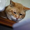 写真: 2011年02月06日の茶トラのボクチン(6歳)