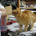 写真: 2012年02月06日の茶トラのボクチン(7歳)