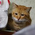 写真: 2011年02月08日の茶トラのボクチン(6歳)