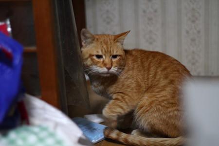 2011年02月10日の茶トラのボクチン(6歳)