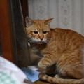 写真: 2011年02月10日の茶トラのボクチン(6歳)
