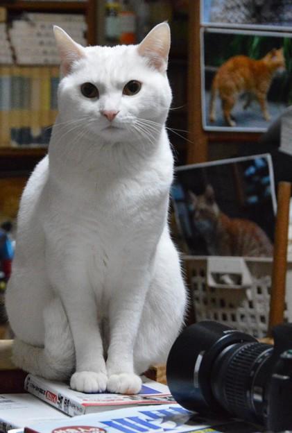 2015年02月17日メスのシロちゃん(1歳半)