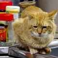 写真: 2011年03月01日の茶トラのボクチン(6歳)