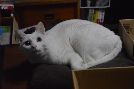 2017年11月26日のシロちゃん(雌4歳)