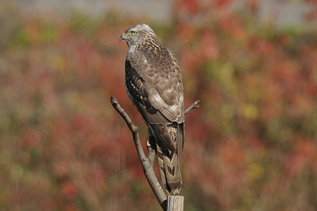 オオタカ(幼鳥)