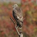 写真: オオタカ(幼鳥)