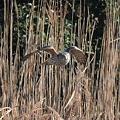 写真: こちらに向かって来るオオタカ(幼鳥)