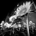 写真: 向日葵は真夜中、何処を向く