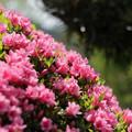 写真: ツツジ華やかに咲く