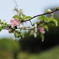写真: 花梨の花 唯一の恋