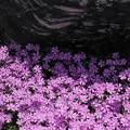 写真: 芝桜