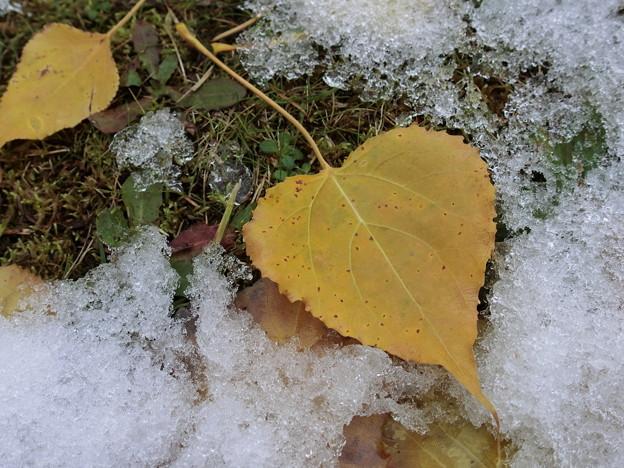 写真: 粗目雪と落ち葉