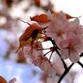 Photos: 貴方に笑顔を~エゾヤマザクラ~(´▽`)ノ