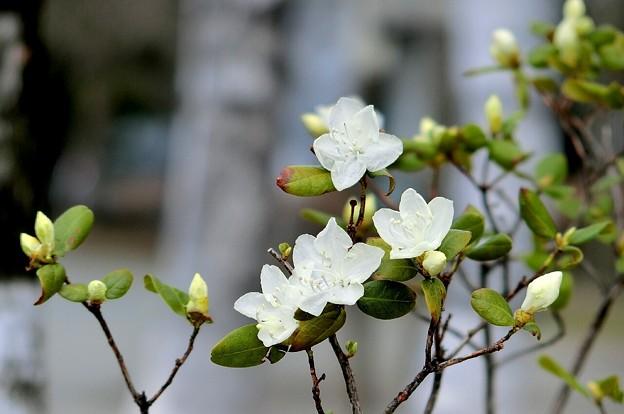 白いツツジと白樺