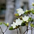 写真: 白いツツジと白樺