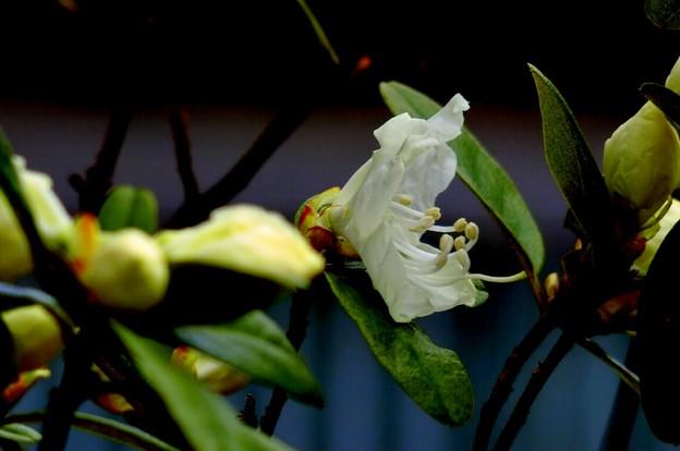 Photos: ツツジの花が開いて~♪