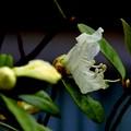 ツツジの花が開いて~♪