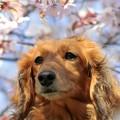 写真: 桜爛漫・愛犬Ran~♪